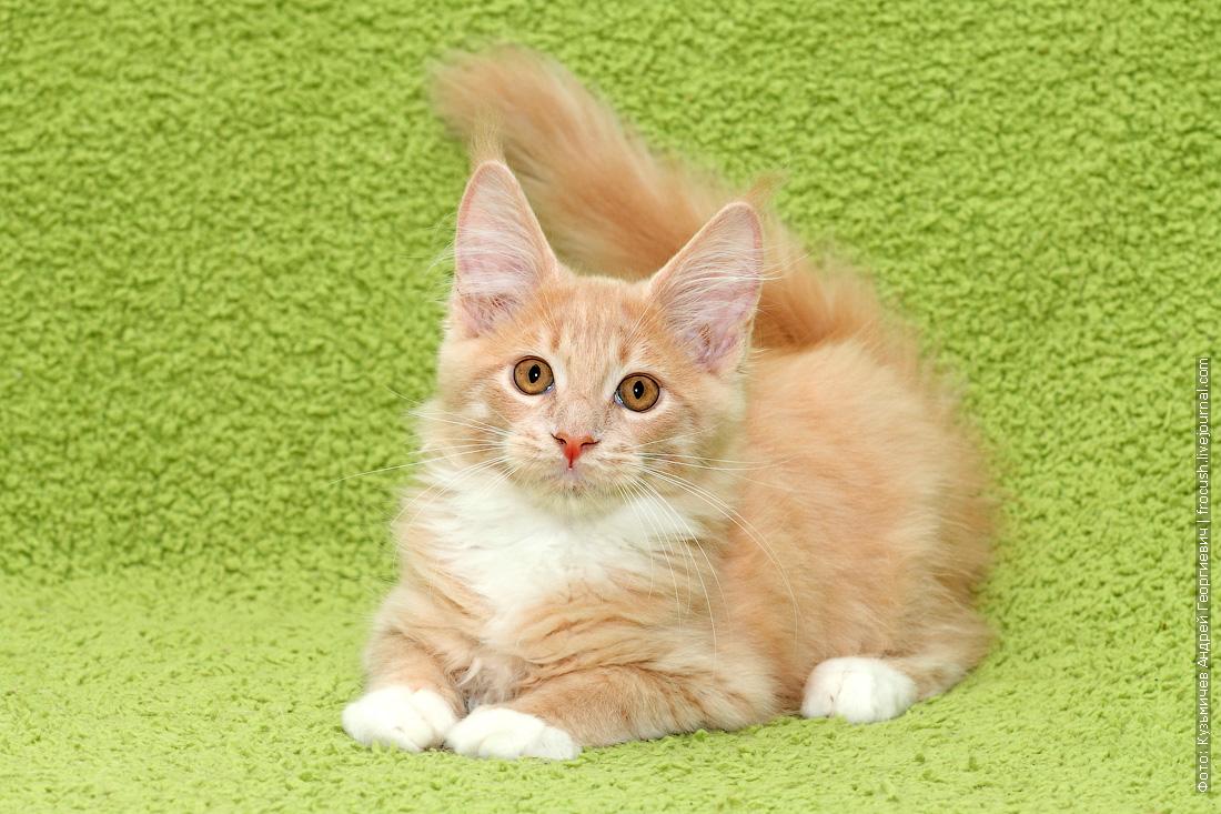продается в Москве котенок Мейн-кун