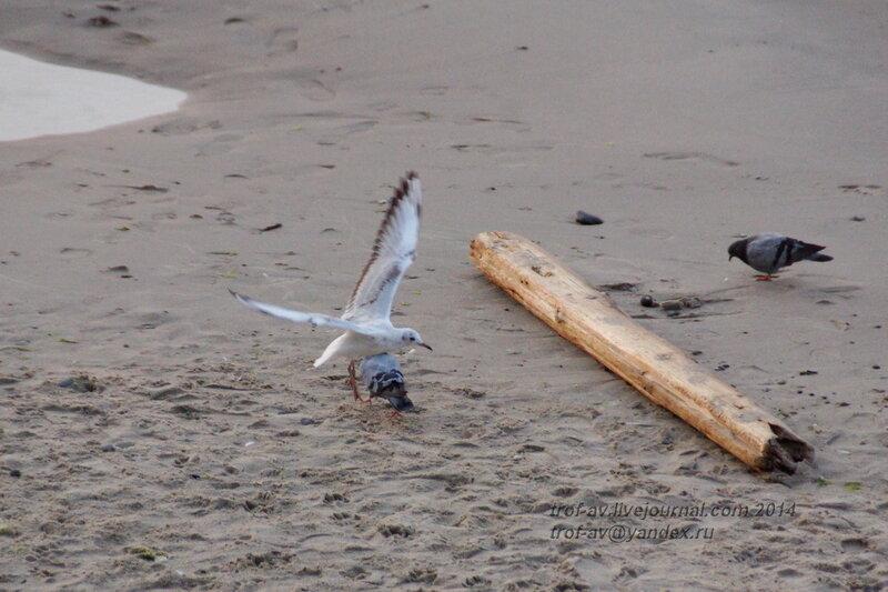 Чайка нападает на голубя. Светлогорск-Rauschen