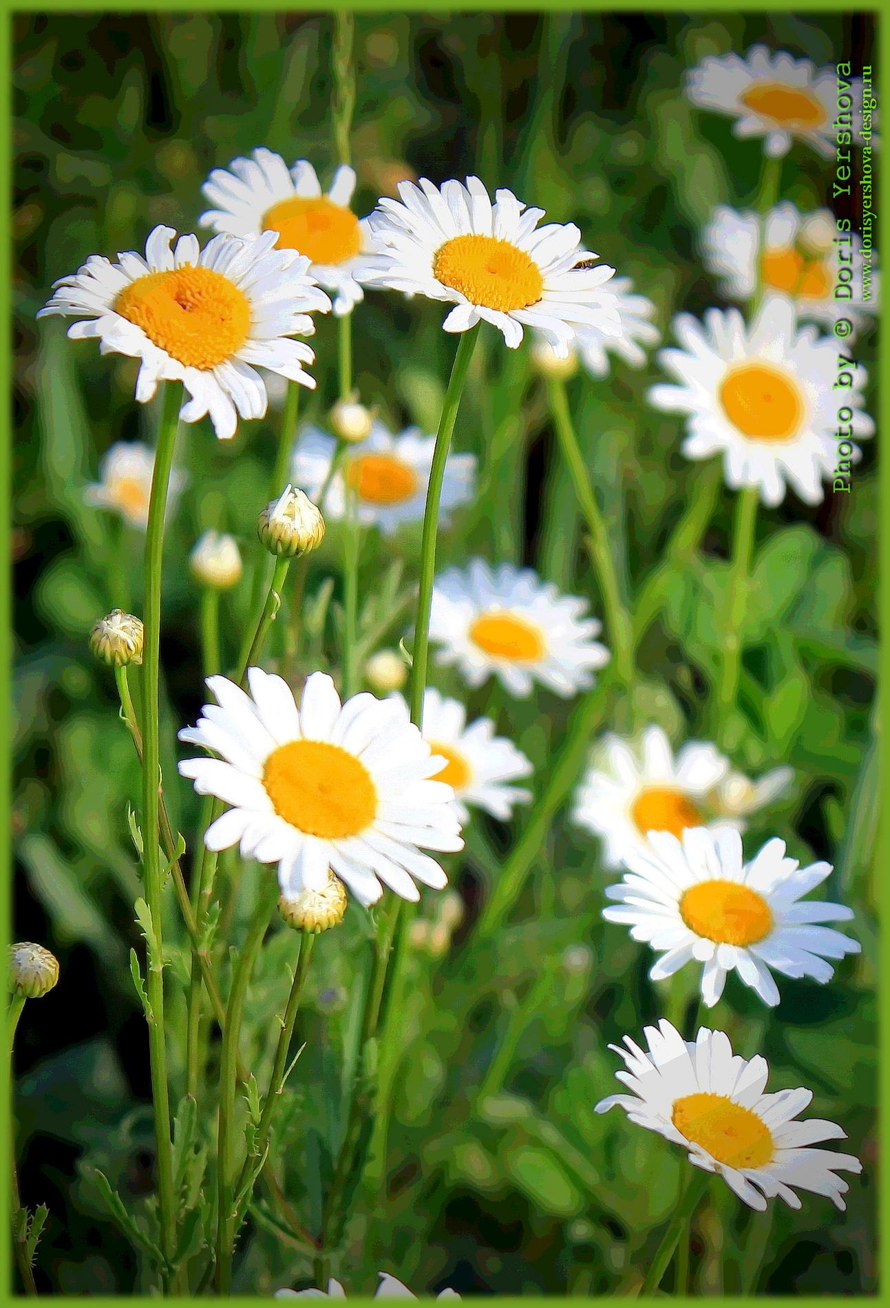 ромашки на поле, белый, желтый, зеленый, лето, луг, поле