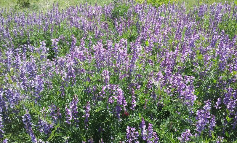 васельки полевые цветы