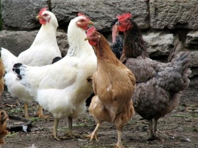 профилактика болезней птиц