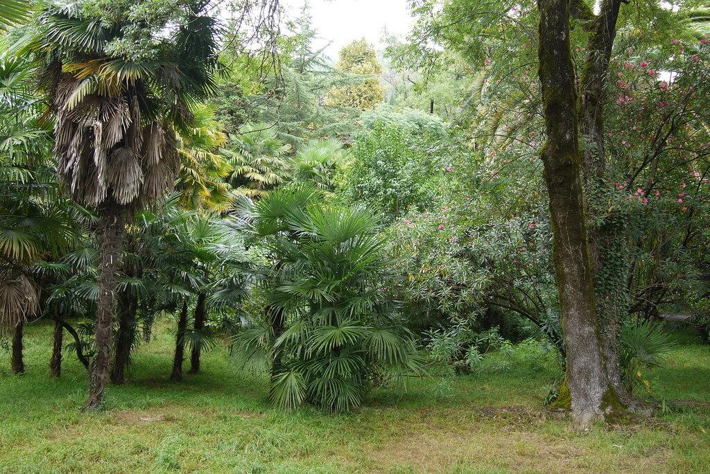 Пальмочки в Старой Гагре