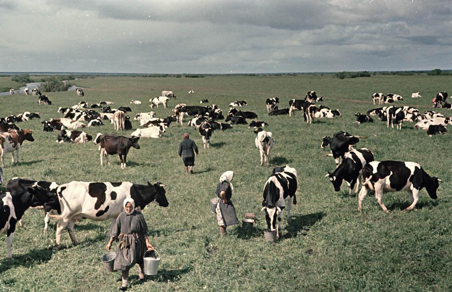 Холмогорские коровы 2 900.jpg