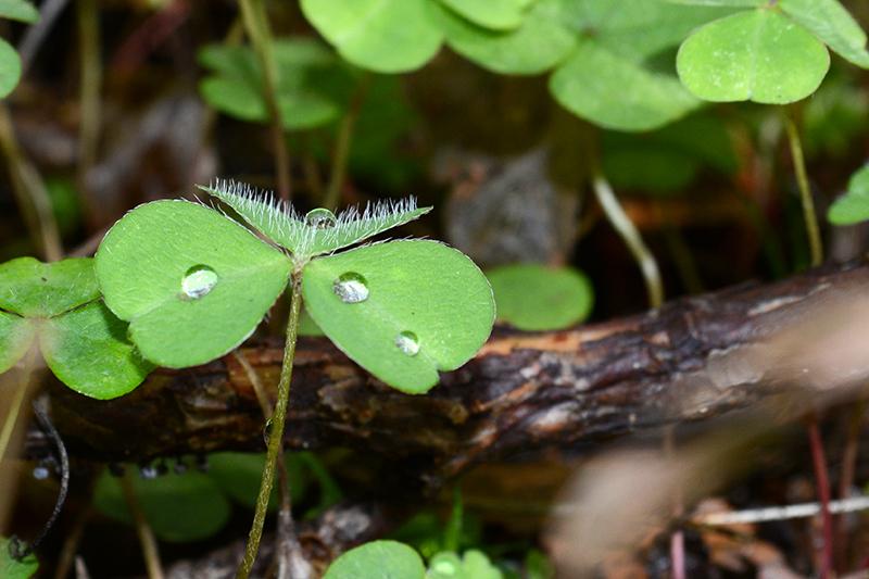 осень 15 мохнатая кислица