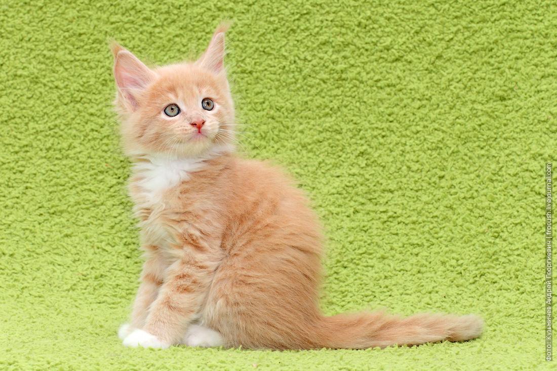 смотреть бесплатно мейн-кун котята фотографии