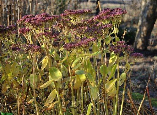 Очиток (очитник) видный / Sedum (hylotelephium) spectabile