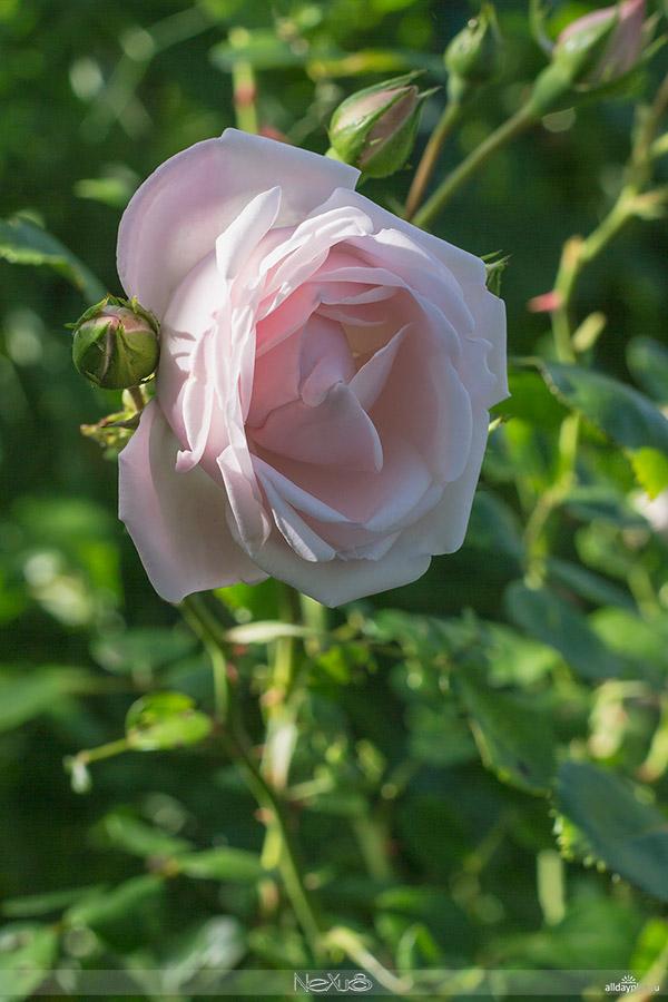 Я люблю все цветы, выпуск 113 | Роза - «Королева цветов» | Сорт «New Dawn».
