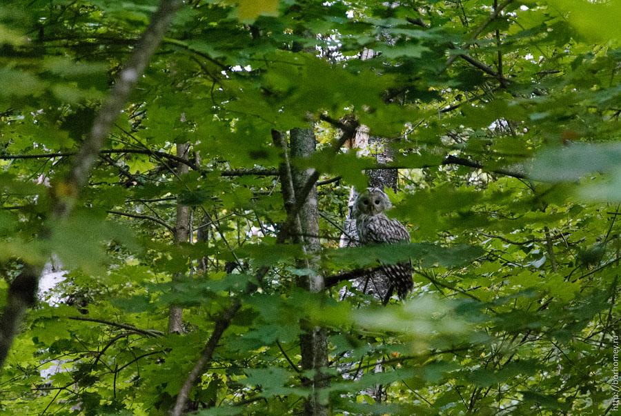 сова в лесу