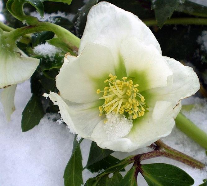Какие цветы можно посадить под зиму - 24 многолетника-Морозник