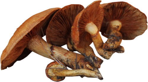 priss_flutteringleaves_mushrooms3.png