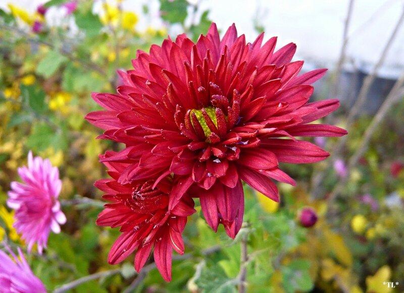 ...хризантемы для моей любимой<br /> подарить сегодня я хочу...<br /> пусть прольется свет неуловимый<br /> женщине, которую люблю...