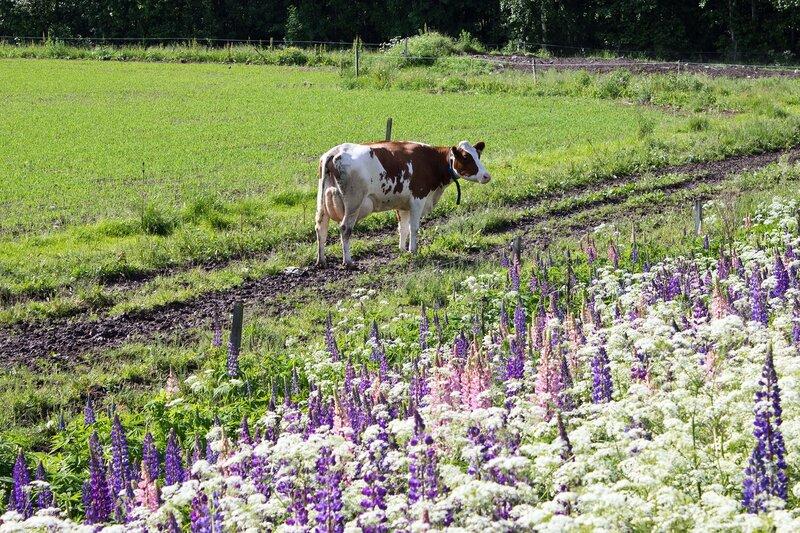 корова среди люпинов