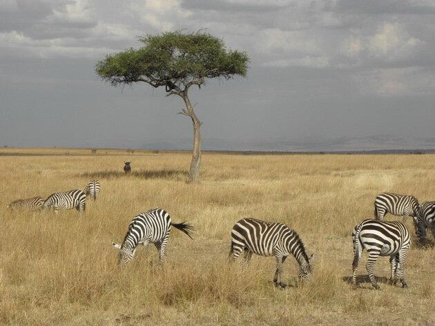 Заповедник Масаи-Мара. Кения