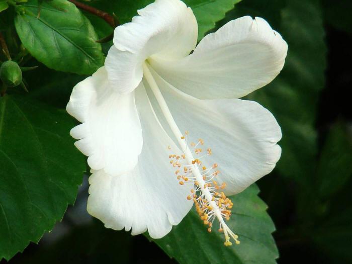 біла квітка гібіскуса