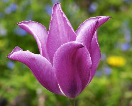 фіолетовий тюльпан