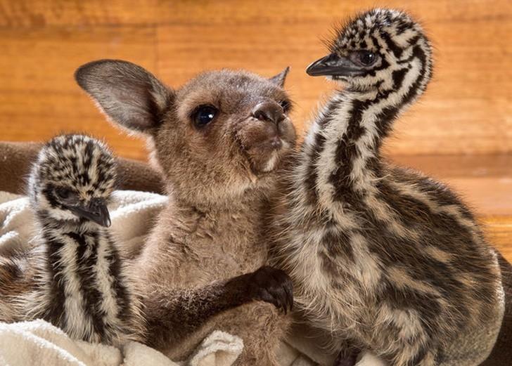 Эти ласкающиеся страусята и кенгуренок заставят вас плакать от умиления! (5 фото)