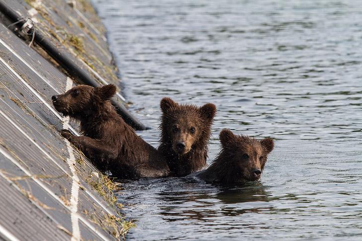 2. Поначалу, медвежата кричали, прыгали в воду и плыли к маме, боясь остаться одни, хоть она и не от