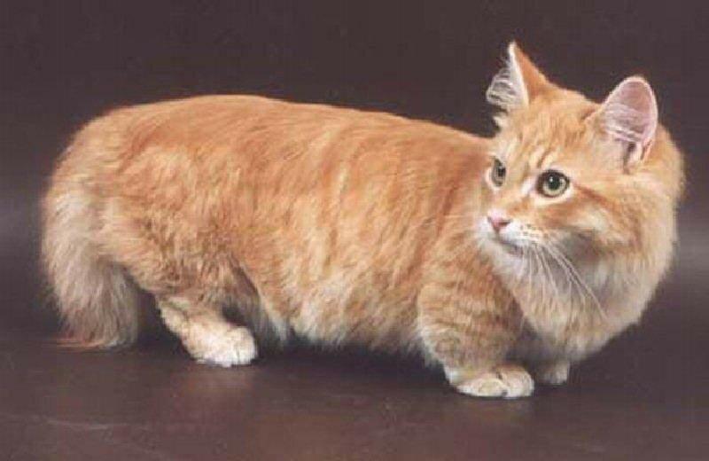 Манчкины – коротколапые кошки