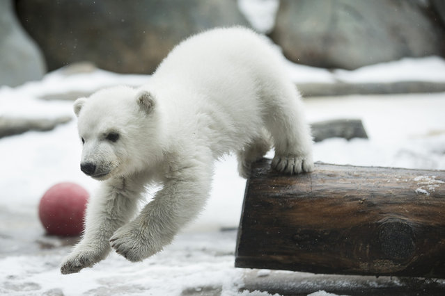 Juno the polar bear meets the public for the first time at the Metro Toronto Zoo February 25, 2016.