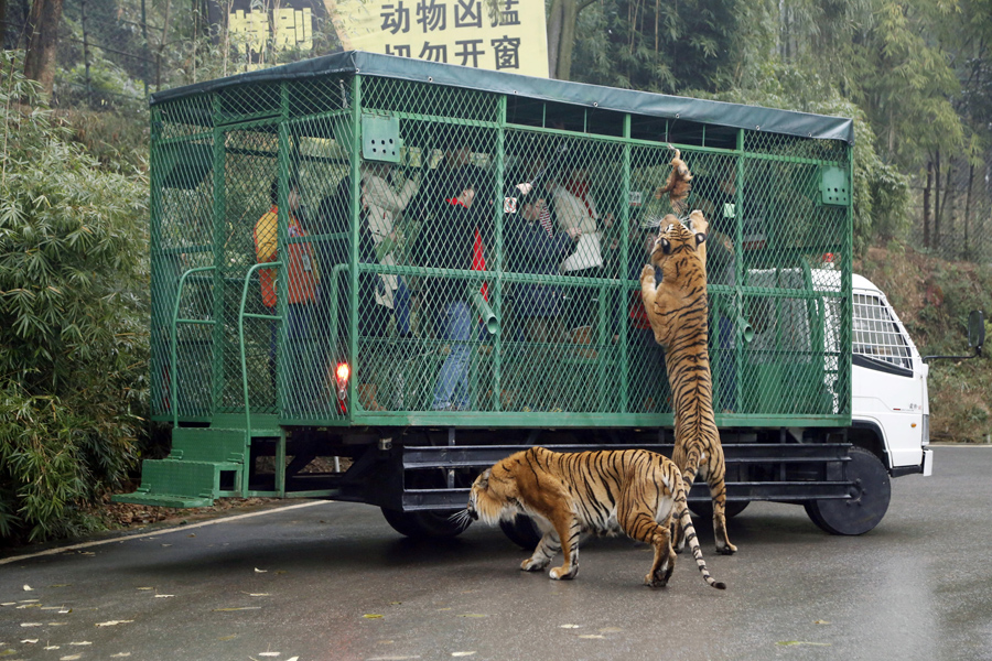 A tiger tries to grab a live chicken offered by tourists inside a sightseeing vehicle at the wildlif