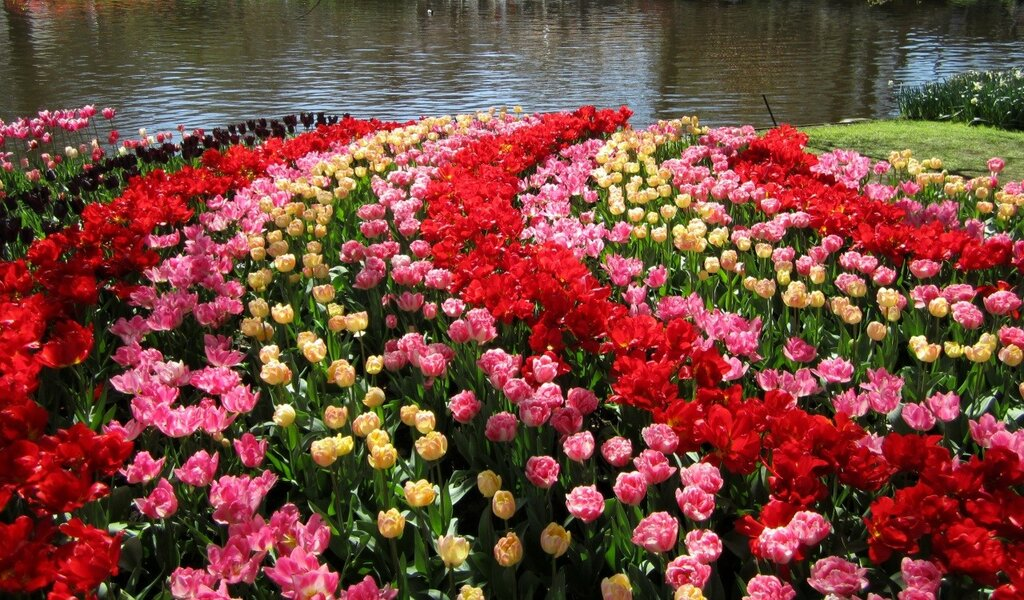 Netherlands_Parks_Tulips_443586.jpg
