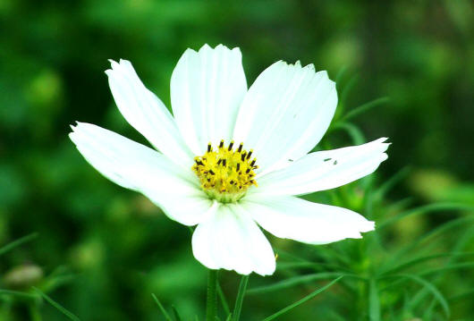 біла космея