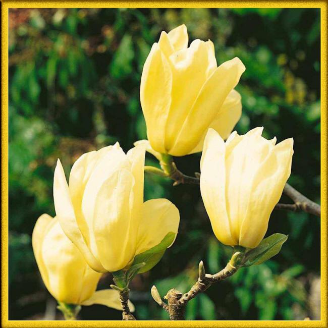 Магнолія жовта
