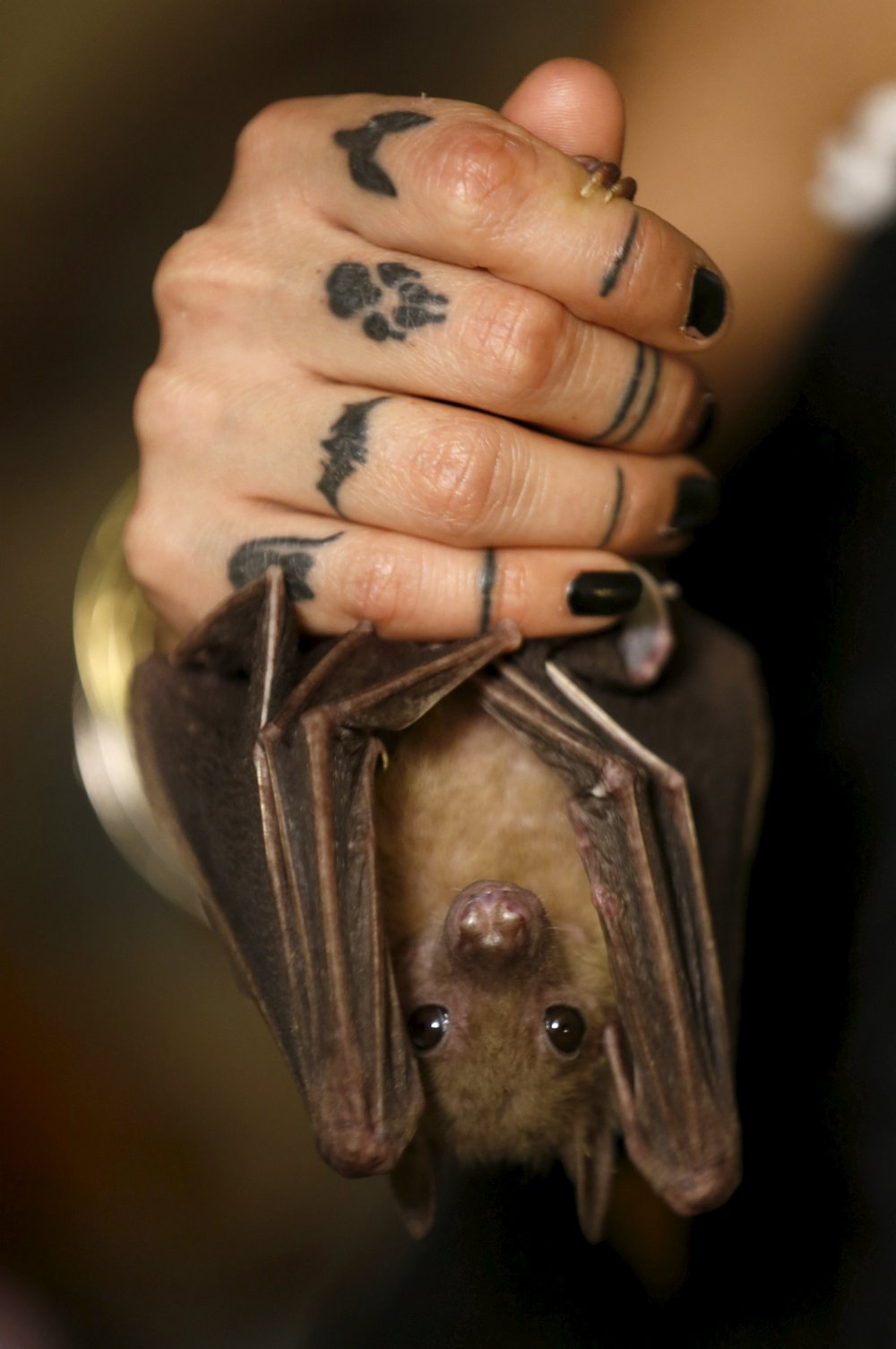 Israeli woman, Lifschitz, holds an injured Egyptian fruit bat at her home in Tel Aviv