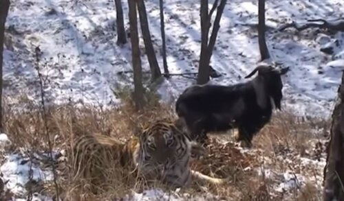 Приморье - необычная дружба животных козла Тимура и тигра Амура