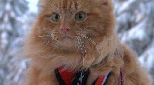 Норвежский кот бегает в упряжке и везет лыжницу