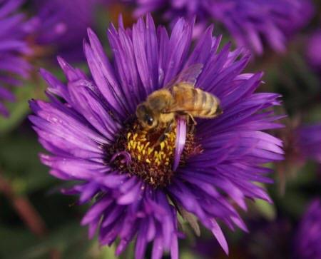 Бджола на фіолетовою астрі