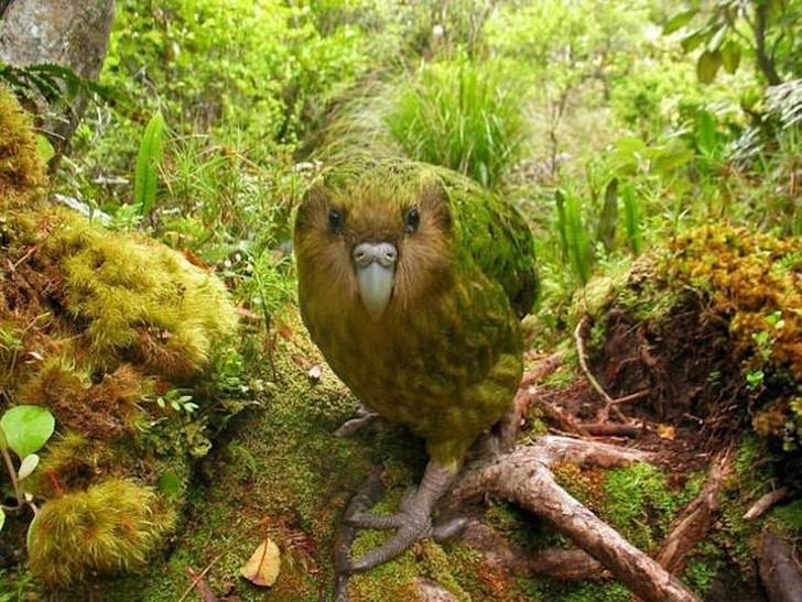 Какапо, или совиный попугай, встречается в Новой Зеландии и является единственным нелетающим поп