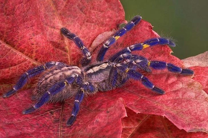 Этот вид паука можно найти только в отдаленных индийских лесах. Коллекционеры просят по 500 долл