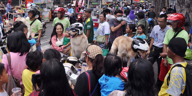 A crowd of admirers surround the dogs on January 12, 2015, in Surabaya, Indonesia. (Photo by Jefta I