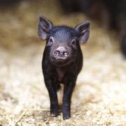 Черная свинка