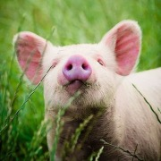 Свинка в траве