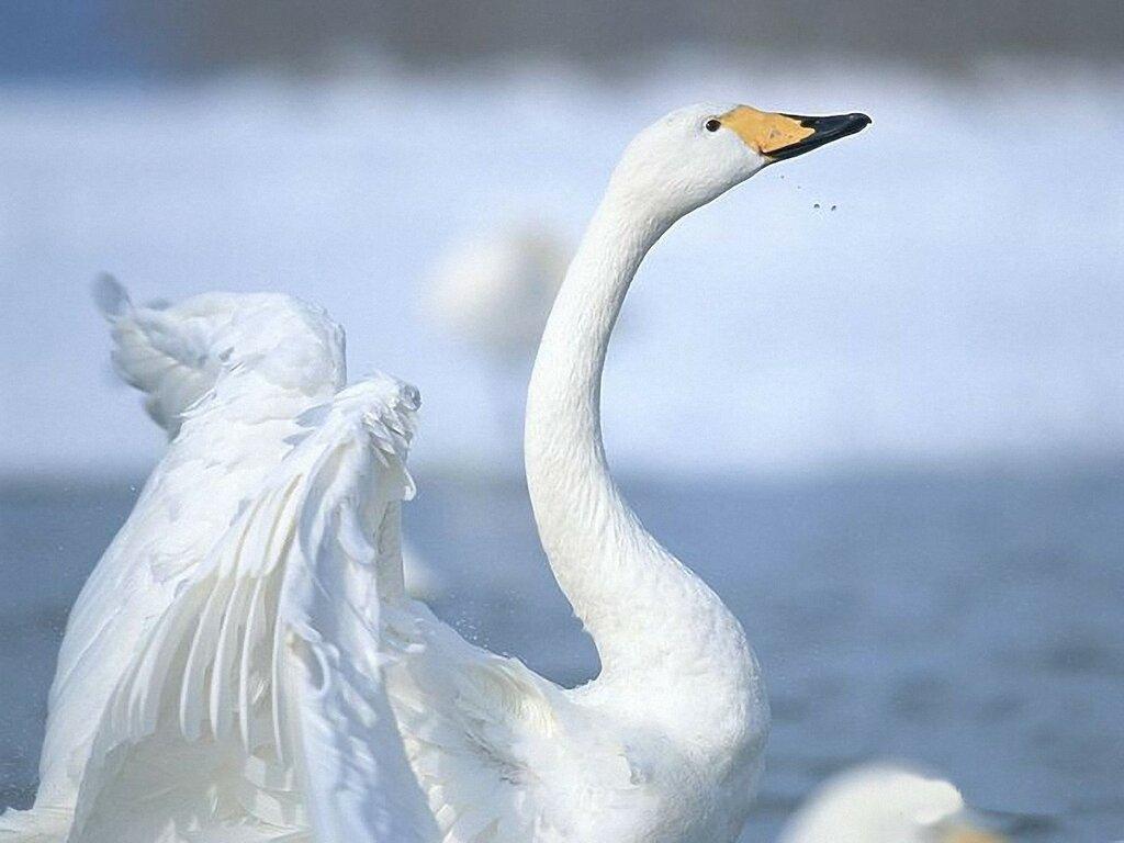 the-white-swan_97069-1600x1200.jpg