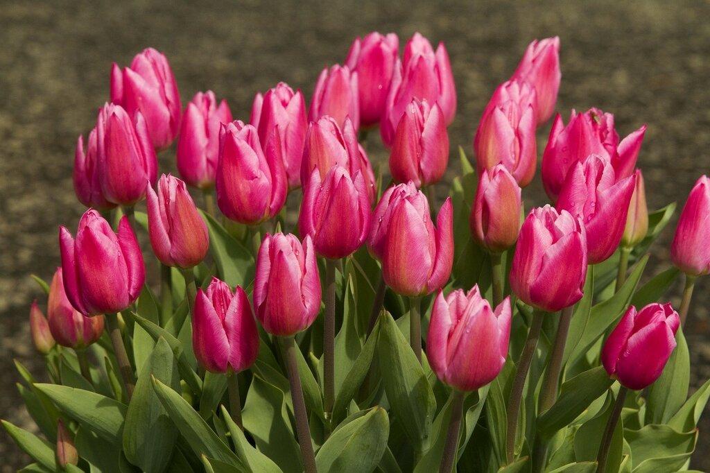 Tulips_Closeup_Pink_435447.jpg