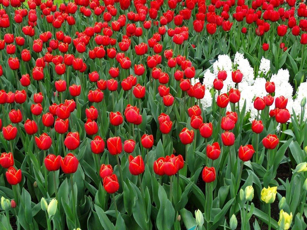 Tulips_Many_Red_461975.jpg