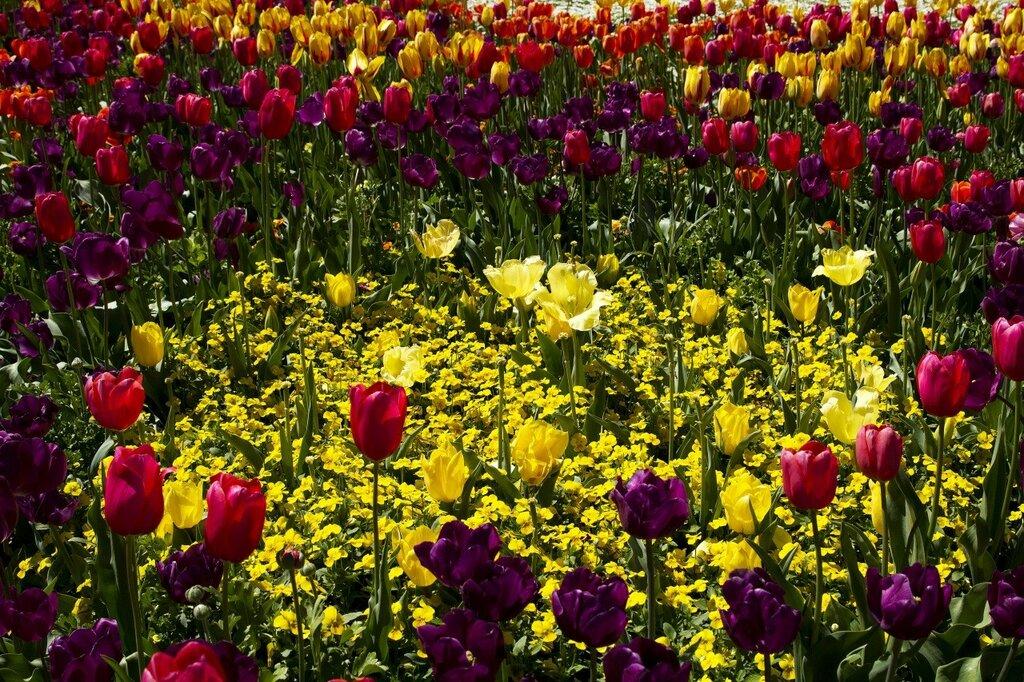 Tulips_Pansies_Many_437201.jpg