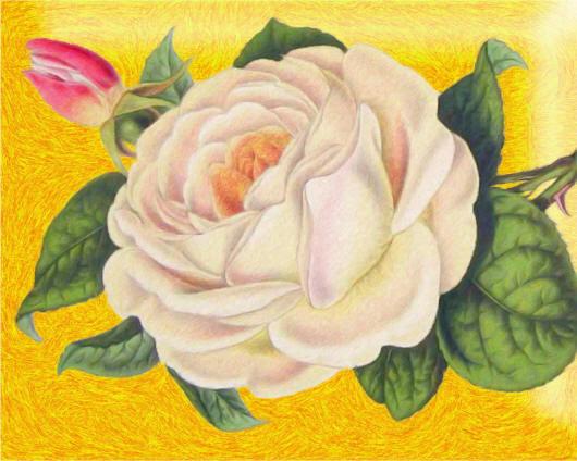 Намальована біла троянда