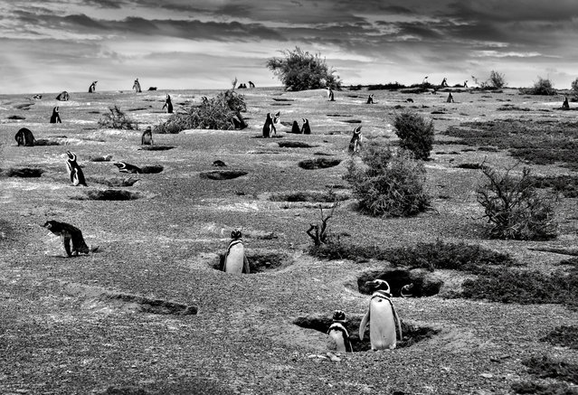 Christian Massari, Italy. Shortlisted, Open Competition, Nature and Wild Life. Penguin chicks in Arg