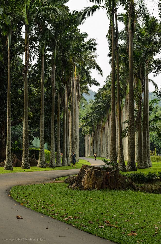 20. Пальмовая аллея (Palm Valley) в Королевском Ботаническом Саду Перадения (The Royal Botanical Garden of Peradeniya) на Шри-Ланке