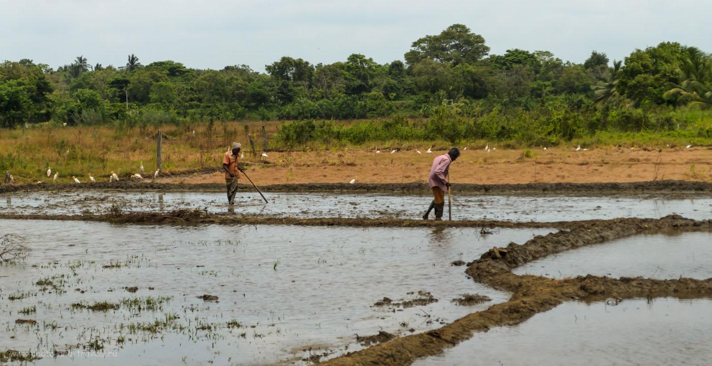 Фотография 5. У кого нет денег на минитрактор для посева риса, тот работает мотыгой. Отдых на Шри-Ланке в мае. Поездка на гору Сигирия (Sigiriya) самостоятельно.