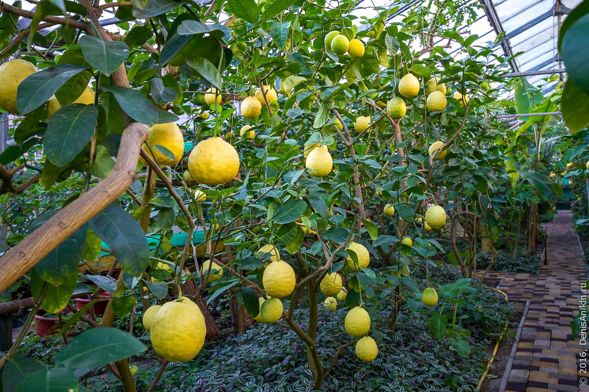 Саратовский лимонарий 20