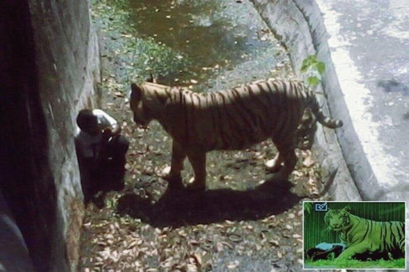 Белый тигр загрыз подростка в зоопарке Индии