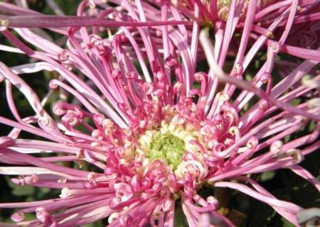 голчаста хризантема