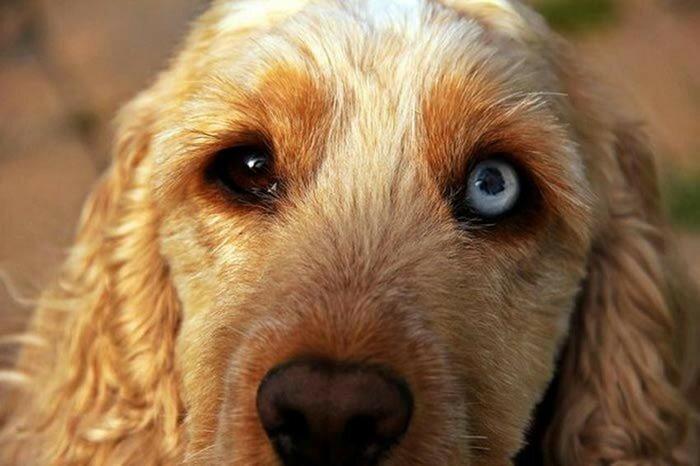 Коты и собаки с разноцветными глазами