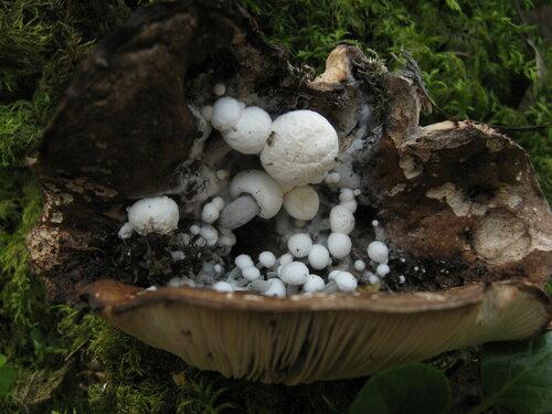 Этот гриб встречаю редко и далеко не каждый год. И, наверное, впервые увидел, как астерофоры паразитируют на еще вполне прилично выглядящих подгруздках Автор фото: Станислав Кривошеев