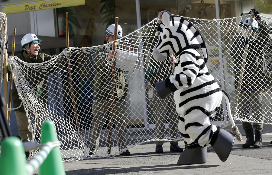 Employees at the Ueno Zoo use a net to capture a mock zebra during an emergency escape drill in Toky